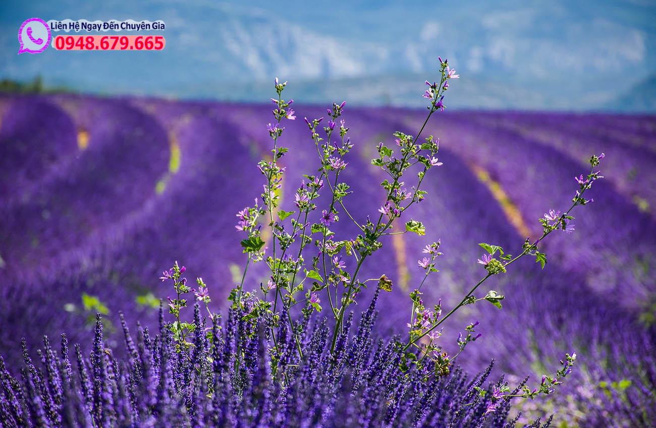 Cánh đồng hoa Lavender moustiers