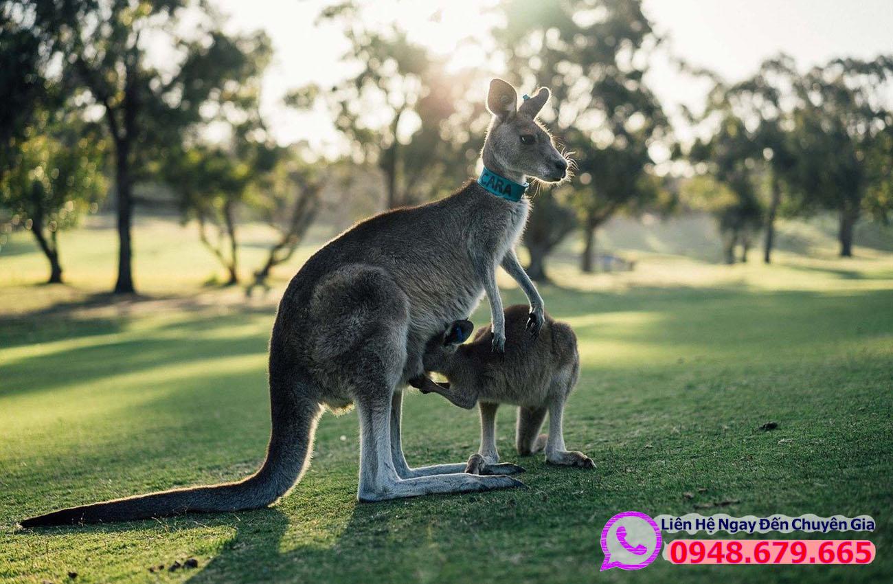 Chuột túi biểu tượng nước Úc