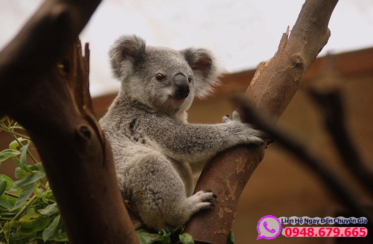 Koala nước Úc