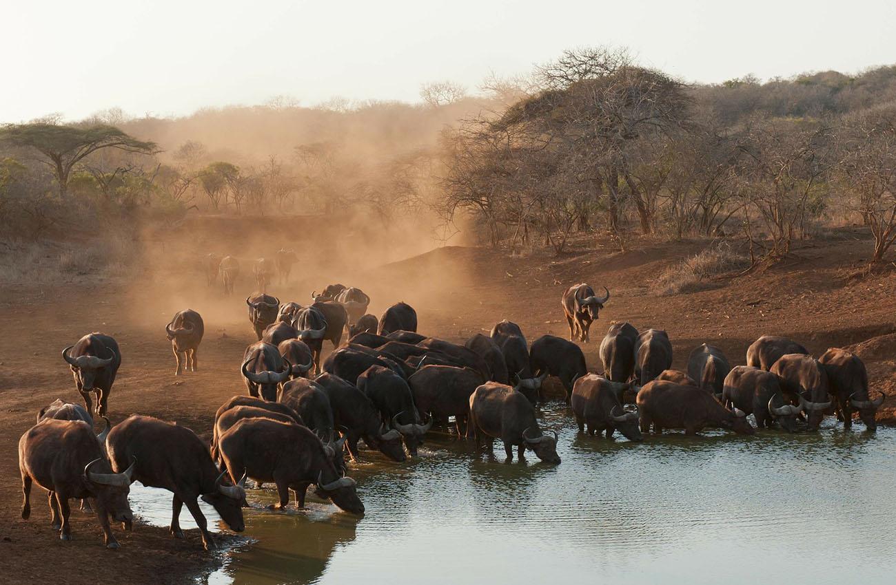 Trâu rừng Nam Phi